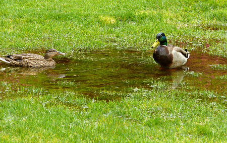Ducks-Swimming-in-Lawn